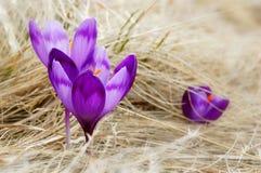 Tot bloei komende krokussen Stock Foto