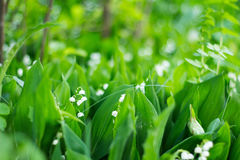 Tot bloei komende lelietje-van-dalen in een zonnig bos Stock Afbeeldingen