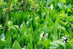 Tot bloei komende lelietje-van-dalen in een zonnig bos Royalty-vrije Stock Afbeelding