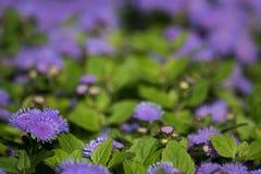 Tot bloei komende lilac installatie Ageratum, zachte nadruk stock afbeeldingen