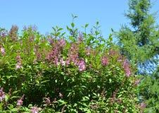 Tot bloei komende lilac struik Royalty-vrije Stock Afbeeldingen