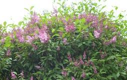 Tot bloei komende lilac struik Stock Fotografie