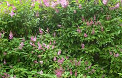 Tot bloei komende lilac struik Stock Foto