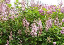 Tot bloei komende lilac struik Stock Foto's