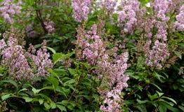 Tot bloei komende lilac struik Royalty-vrije Stock Foto's