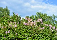 Tot bloei komende lilac struik Royalty-vrije Stock Afbeelding