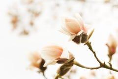 Tot bloei komende magnolia Royalty-vrije Stock Afbeeldingen
