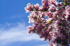 Tot bloei komende Magnolia - de lente Stock Foto's