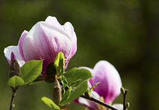 Tot bloei komende magnoliaboom Stock Afbeeldingen
