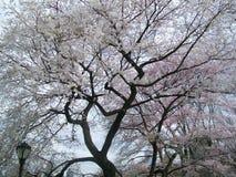Tot bloei komende Magnoliaboom Stock Afbeelding