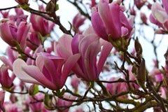 Tot bloei komende magnoliaboom Royalty-vrije Stock Afbeeldingen
