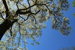 Tot bloei komende magnoliaboom tegen blauwe hemel Royalty-vrije Stock Fotografie