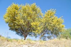 Tot bloei komende mimosa'sboom in de lente Stock Foto