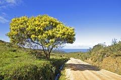 Tot bloei komende mimosa'sboom in Portugal Stock Foto