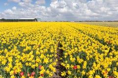 Tot bloei komende narcissen op een zonnige dag in de Nederlandse lente op de gebieden met sommige rode tulpen royalty-vrije stock foto's