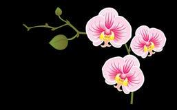 Tot bloei komende orchidee Stock Afbeeldingen