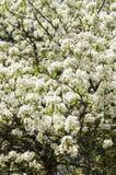 Tot bloei komende perenboom in de lente Stock Foto