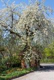Tot bloei komende perenboom met klein plattelandshuisje stock foto's