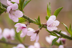 Tot bloei komende perzik-boom stock afbeeldingen