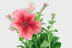 Tot bloei komende petunia stock afbeeldingen