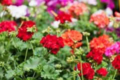 Tot bloei komende rode en roze geranium Stock Foto's