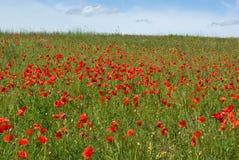 Tot bloei komende rode papavers stock afbeeldingen
