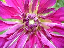 Tot bloei komende rood-purpere dahlia Royalty-vrije Stock Foto's