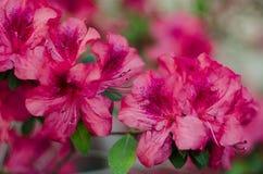 Tot bloei komende roze azalea dicht omhoog in tuin Royalty-vrije Stock Afbeeldingen