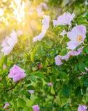 Tot bloei komende roze bloemen van wilde roze struik in zonlicht, natuurlijke bloemen zonnige achtergrond Stock Afbeelding