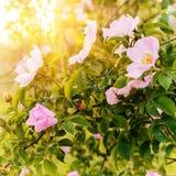 Tot bloei komende roze bloemen van wilde roze struik in zonlicht, natuurlijke bloemen zonnige achtergrond Stock Foto's