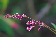 Tot bloei komende roze bloemknoppen stock afbeeldingen