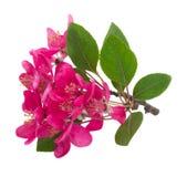 Tot bloei komende roze boombloemen Stock Afbeeldingen