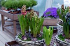 Tot bloei komende roze hyacint Royalty-vrije Stock Afbeeldingen