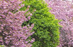 Tot bloei komende roze sakurabomen Stock Foto