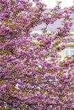 Tot bloei komende roze sakurabomen Stock Foto's