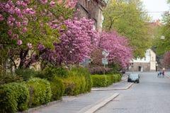 Tot bloei komende roze sakurabomen op de straten Stock Afbeelding