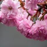 Tot bloei komende roze sakurabomen op de straten Royalty-vrije Stock Foto's
