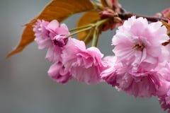 Tot bloei komende roze sakurabomen op de straten Stock Foto