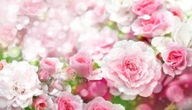 Tot bloei komende rozenachtergrond Royalty-vrije Stock Foto's