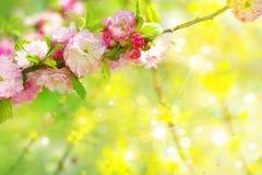 Tot bloei komende sakuraboom op zonnige achtergrond Royalty-vrije Stock Afbeeldingen