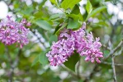 Tot bloei komende seringenstruik in de tuin Royalty-vrije Stock Fotografie