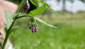 Tot bloei komende smeerwortel met groene natuurlijke achtergrond stock afbeelding
