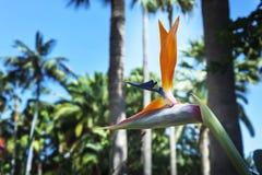 Tot bloei komende Strelitzia-bloesem op vage achtergrond Royalty-vrije Stock Afbeelding