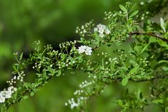 Tot bloei komende struik van witte Spiraea in een tuin Stock Foto's
