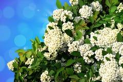 Tot bloei komende tak in de lente Stock Fotografie