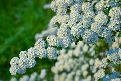 Tot bloei komende tak in de lente Stock Foto