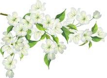 Tot bloei komende tak van appelboom Stock Foto