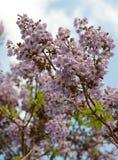 Tot bloei komende tak van boom Paulownia. Royalty-vrije Stock Foto's