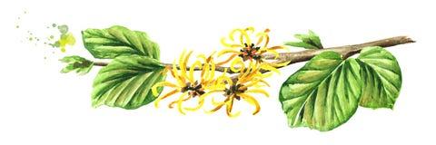Tot bloei komende tak van een Amerikaanse toverhazelaar met bladeren en bloemen, geneeskrachtige installatie Hamamelis Waterverfh stock illustratie
