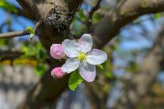 Tot bloei komende tak van een appelboom Royalty-vrije Stock Fotografie